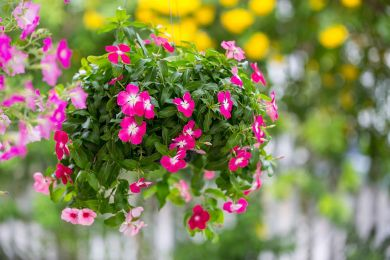 Watercress,Flower,Hanging,In,The,Garden.,Madagascar,Periwinkle,,Vinca,,Old